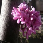flor cuaresma